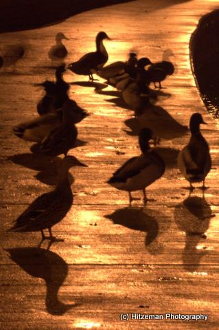 Meditating Duck