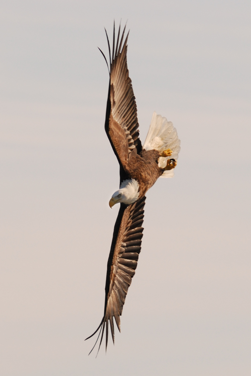 Free, American Bald Eagle in Flight
