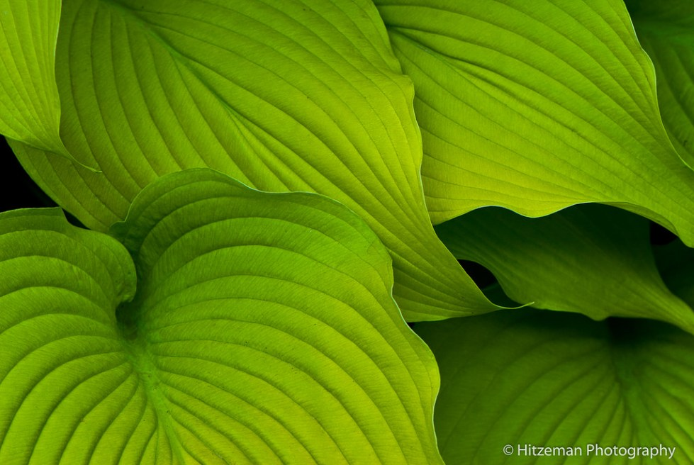 Hosta Cuddle
