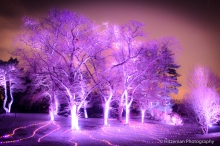Lavender Light Trees
