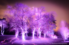 Lavender Light Trees