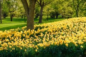 Daffodil Blanket