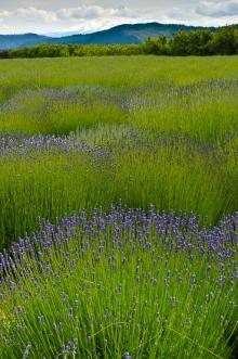 Lavender Hood I