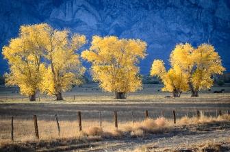 Eastern Sierra Cottonwoods