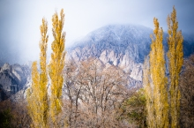 Poplars in the Eastern Sierras