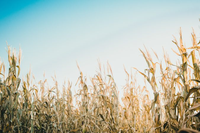 cornstalk-kimmy-williams-549051-unsplash